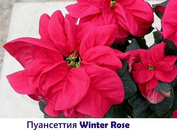 Рождественская красавица – пуансеттия