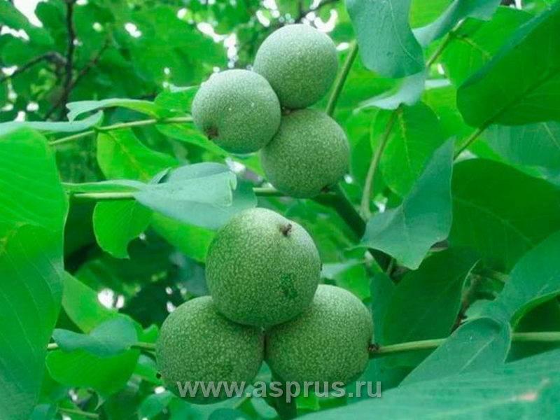 Первый шаг в выращивании грецкого ореха — когда и как его правильно посадить? все нюансы процедуры