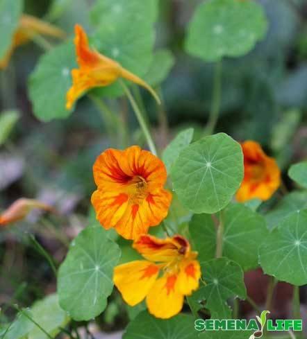 Выращивание настурции из семян: посадка на рассаду и уход в открытом грунте
