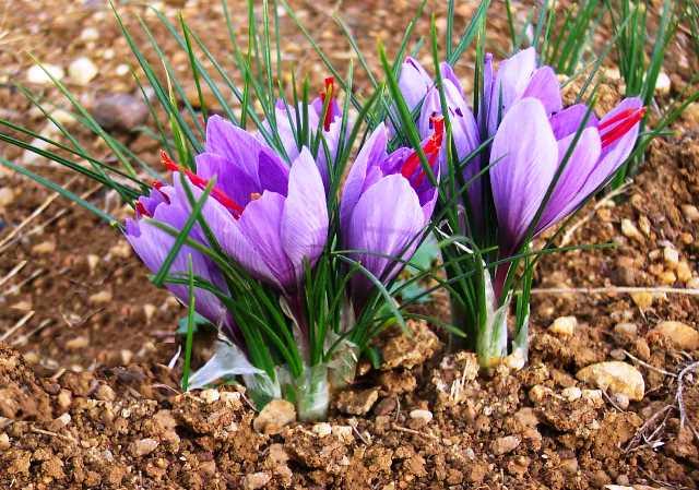 Посадка крокусов в 2020 году: сроки, выращивание и уход