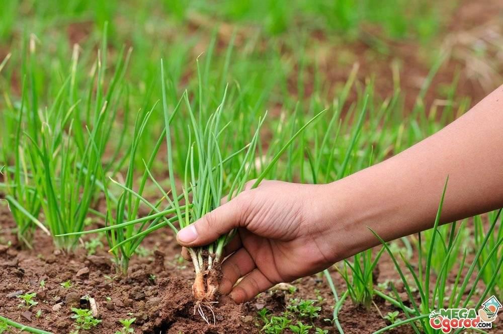Как легко вырастить крупный лук