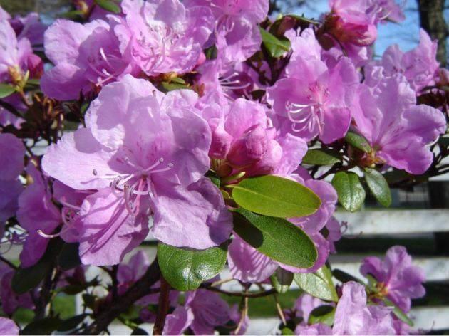 Рододендрон посадка и уход полив удобрения, обрезка и размножение