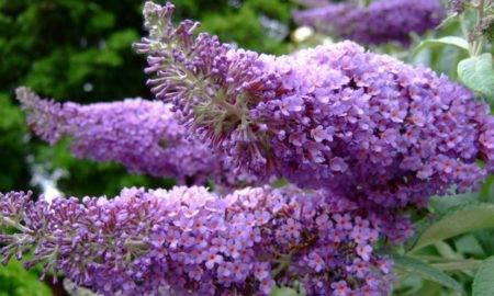 Удивительные сорта и виды будлеи в вашем саду