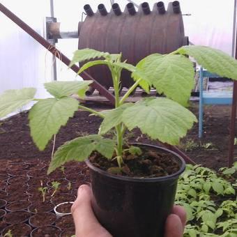 Способы размножения малинового дерева