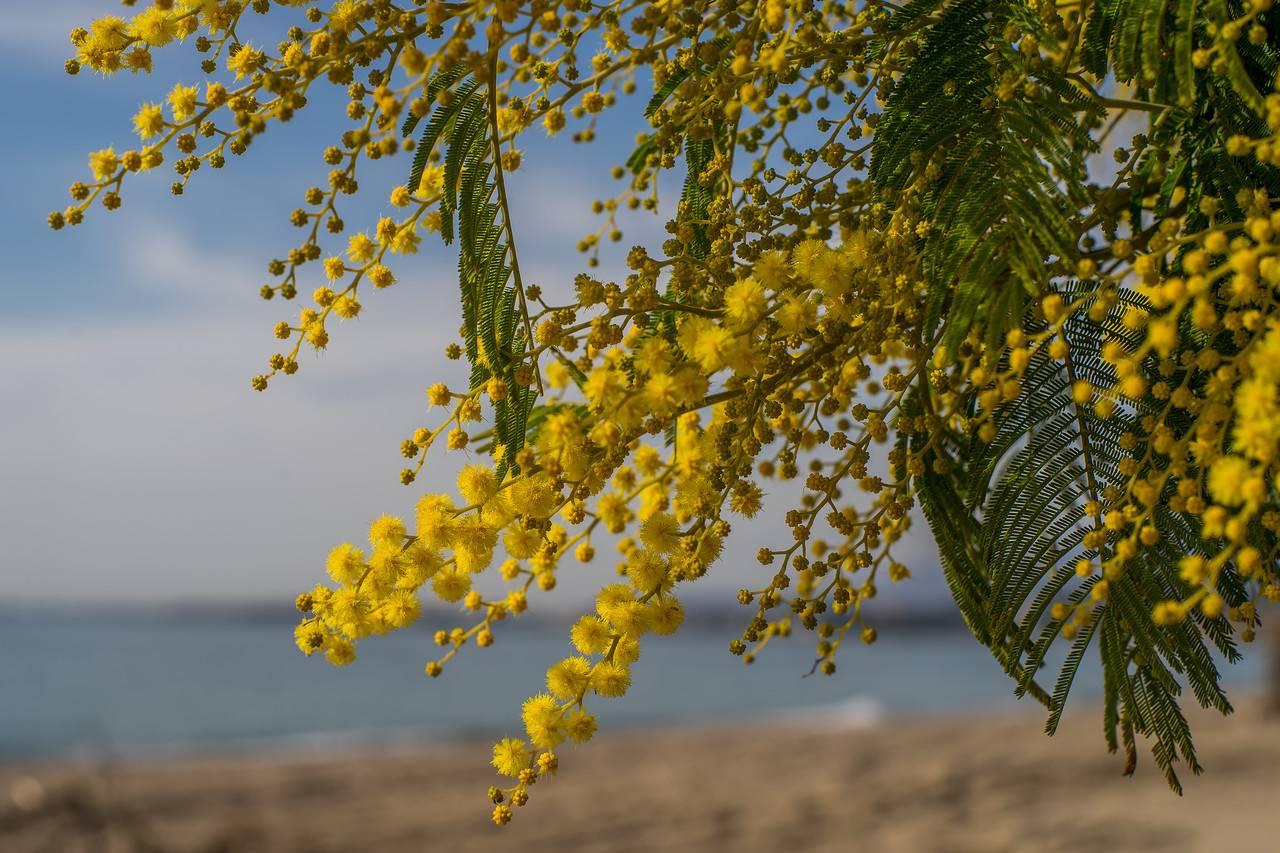 Мимоза (фото цветов)