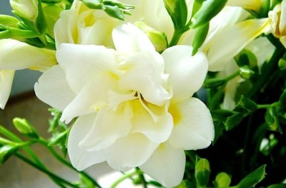 Выращивание фрезии и особенности ухода