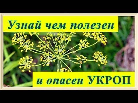 Укроп: лечебные свойства и противопоказания, семена