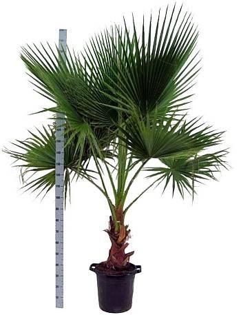 Как пересадить пальму в домашних условиях – главные правила и полезные советы