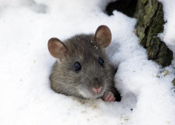 12 эффективных средств от мышей