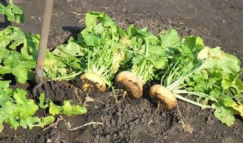 Несложное выращивание турнепса: сеем, немного ухаживаем и вовремя собираем урожай