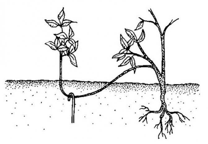 Калина бульденеж – фото, описание, посадка, уход и размножение