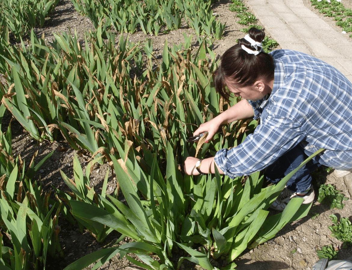 Чем подкормить ирисы: особенности сезонного внесения удобрений