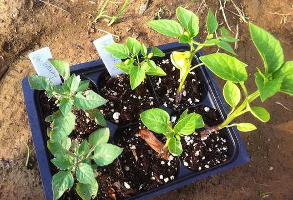 Обязательно посадите на даче полезную ягоду – санберри