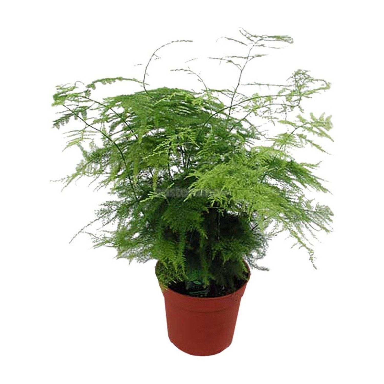 Кистистый робот или asparagus racemosus: описание цветка, фото и правила ухода