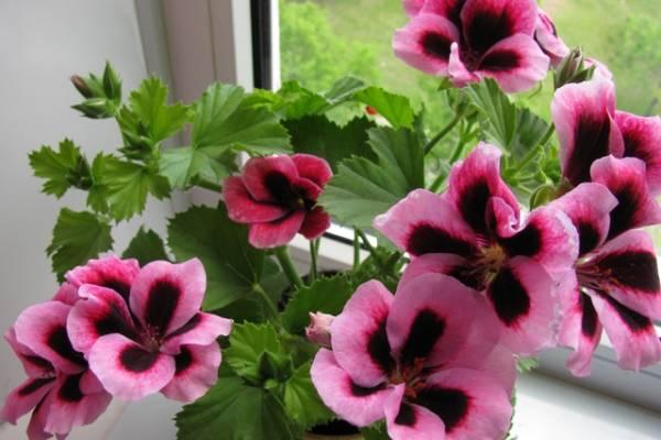 Полезно знать опытному цветоводу и новичку: особенности ухода за пеларгонией в домашних условиях