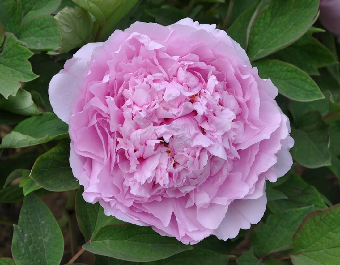 Почему не цветет пион: 9 причин с простым решением