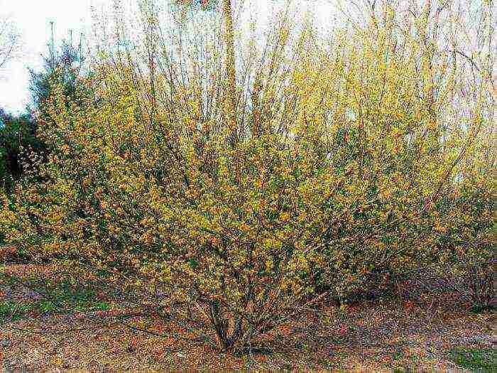 Кизил – выращивание и уход в средней полосе