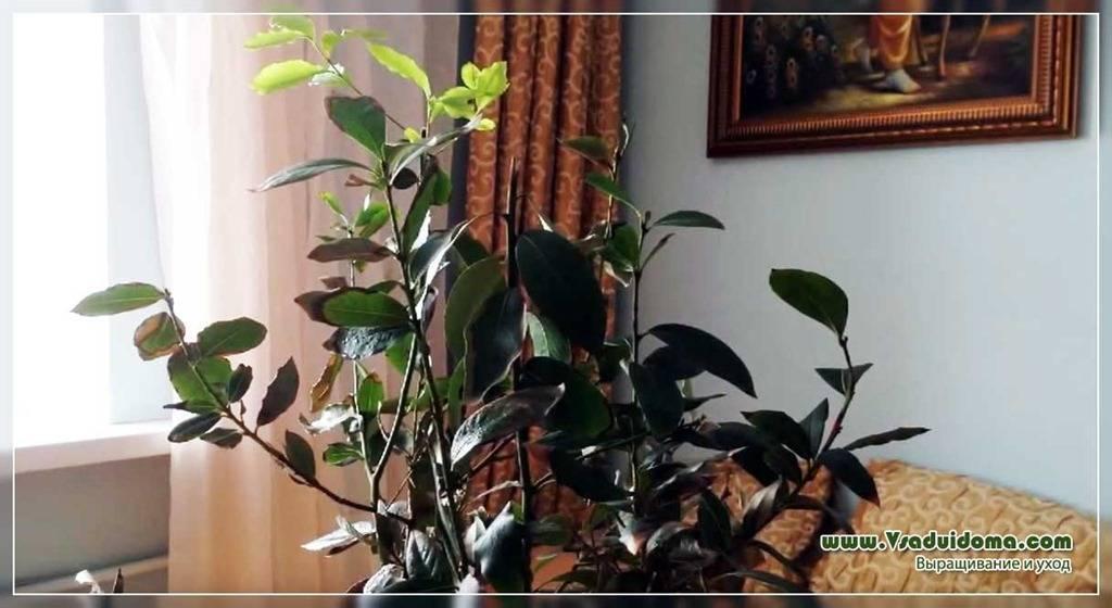 Размножение лавра черенками в домашних условиях, посадка, видео