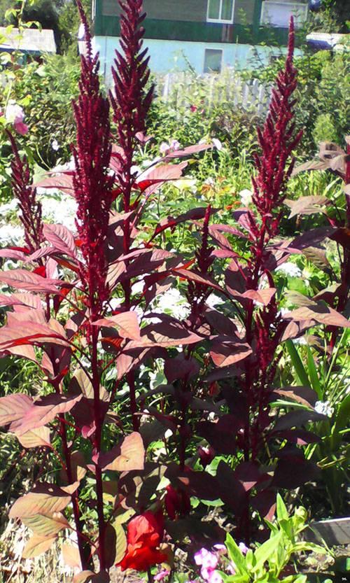 Растение амарант: фото цветов, выращивание из семян, полезные свойства и применение масла щирицы