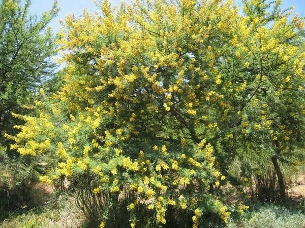 Альбиция — экзотическое дерево, которое можно вырастить в наших садах