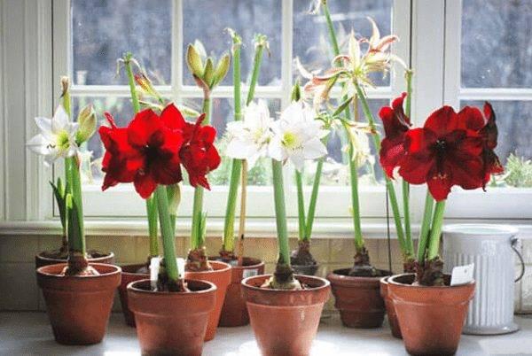 Амариллис: выращивание и уход в домашних условиях