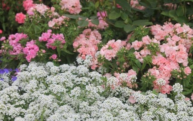 Алиссум — это растение вам точно нужно!