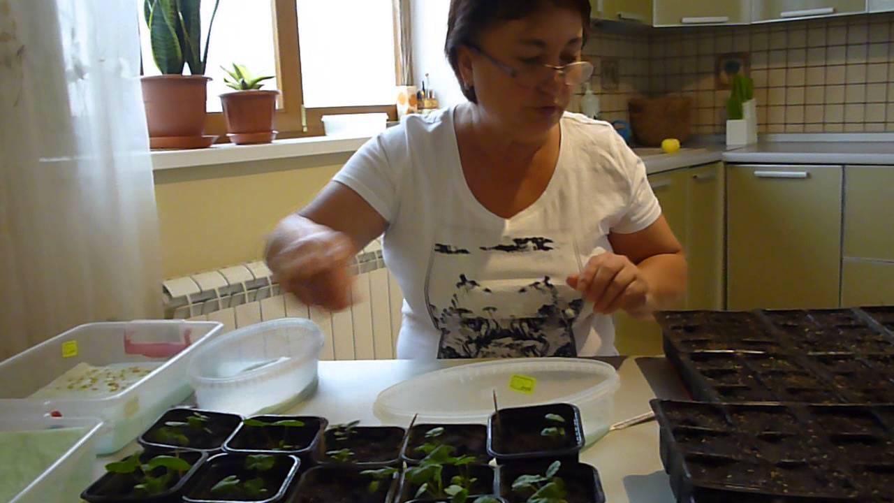 Выращивание пеларгонии из семян дома