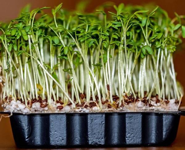 Кресс салат на подоконнике: как выращивать