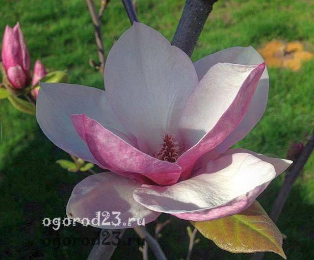 Портулак крупноцветковый – цветок без хлопот