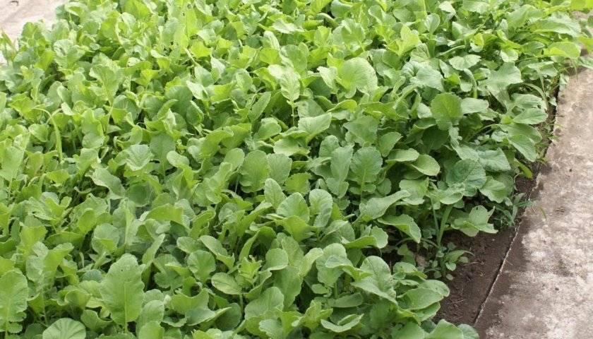 Какие сидераты лучше сеять осенью под картофель?