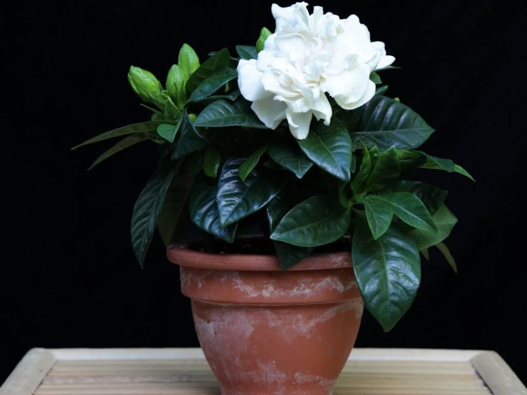 Нежная гардения: как размножить цветок? правила ухода за растением в доме