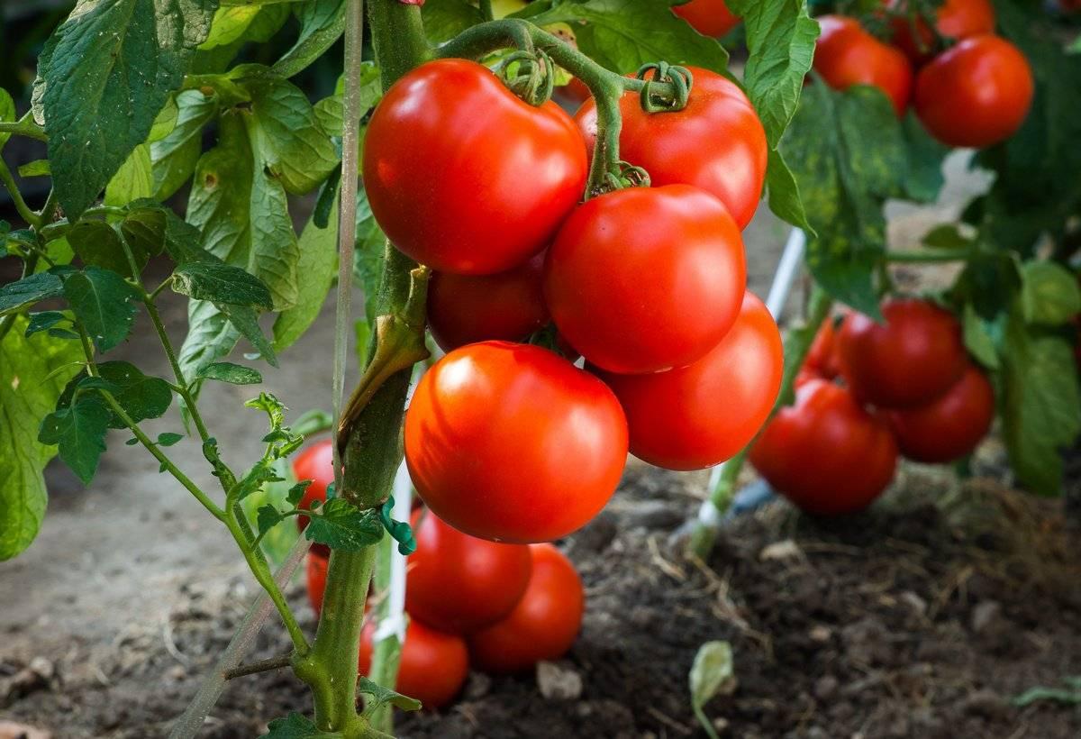 Лучшие сорта низкорослых помидор с фото и описанием