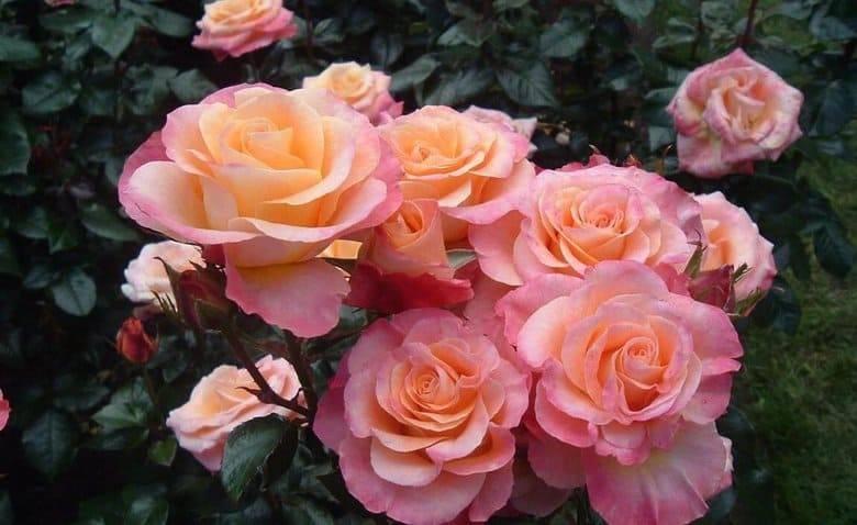 Можно ли выращивать в саду горшечные розы?