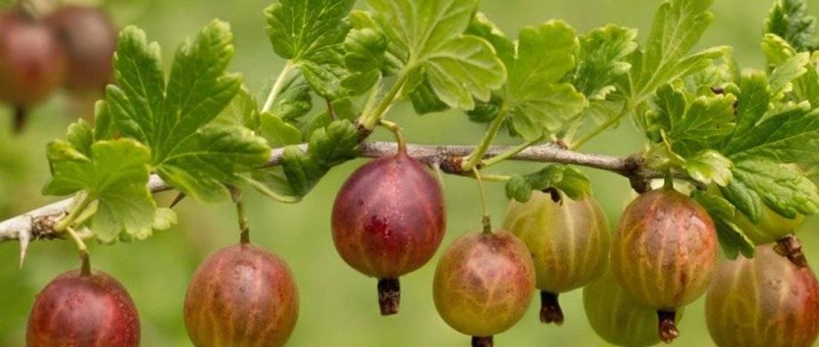 Как правильно посадить и вырастить крыжовник? пошаговые рекомендации