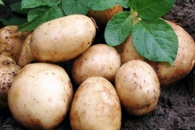 Когда копать картофель после цветения: сроки, рекомендации
