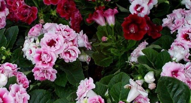 Глоксиния - домашняя любимица с бархатной «кожей»: полив, удобрения и другой уход в комнатных условиях