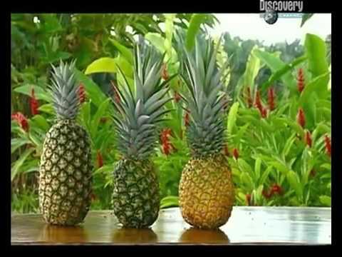 Как выбрать к столу спелый и сладкий ананас