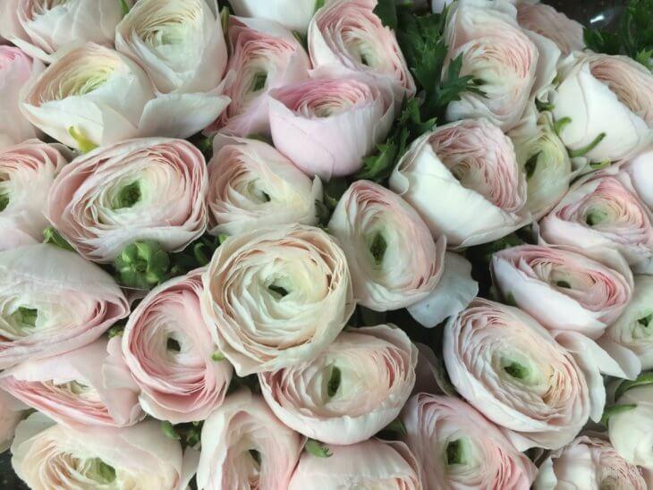 Лютики садовые (ранункулюс) — «букет невесты»: посадка и уход