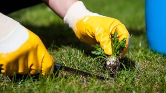 Сорняк лебеда и способы борьбы с ней в огороде