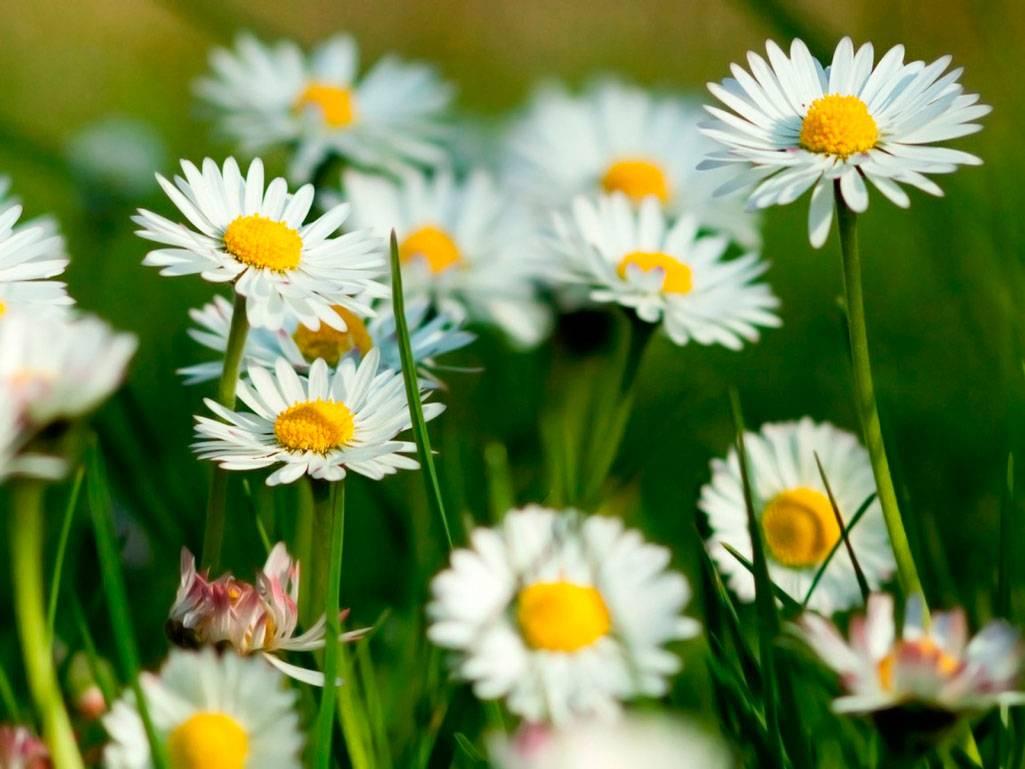 Ромашка садовая многолетняя: кружевная красавица в цветнике