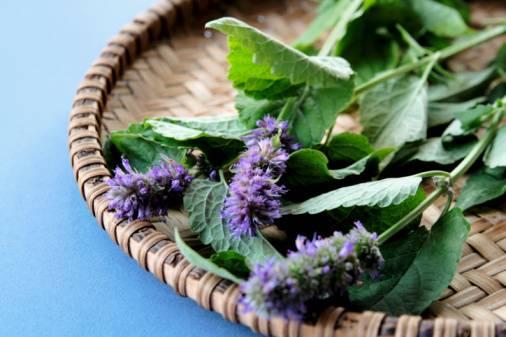 Чай из иссопа польза и вред. иссоп лекарственный применение. рецепты народной медицины на основе иссопа