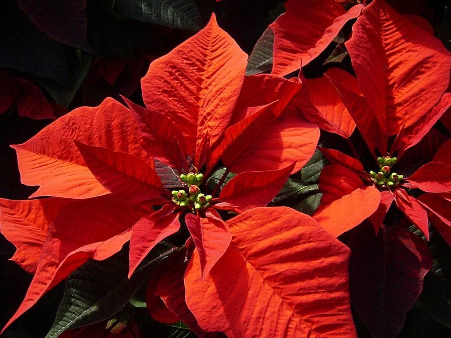 Красная пуансеттия или рождественская звезда: приметы и суеверия