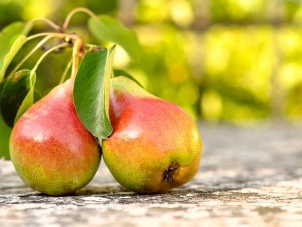 15 лучших сортов груши для средней полосы