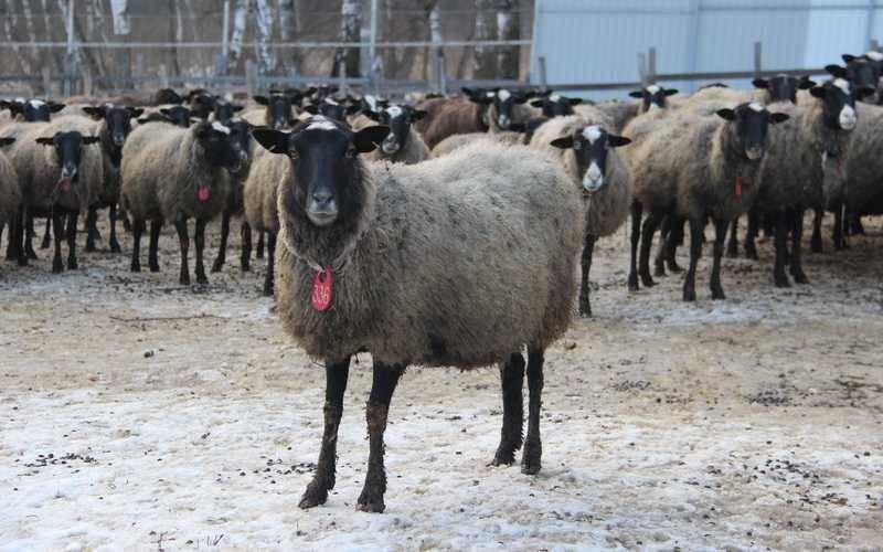 Популярность романовской породы овец