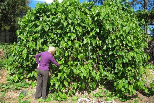 Шелковица (тутовое дерево) — полезные свойства и применение