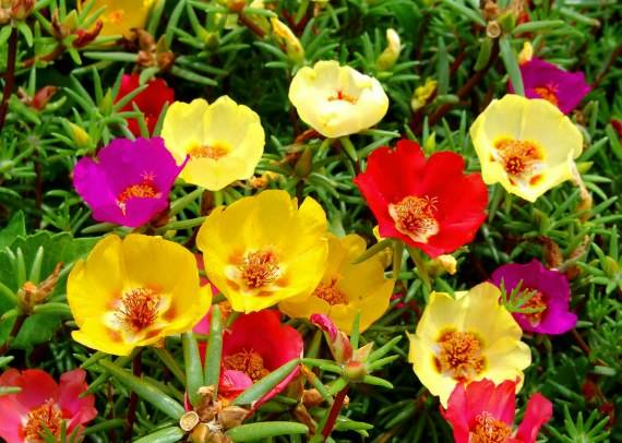 Восхитительные виды и сорта портулака, однако выбор остается за садоводом