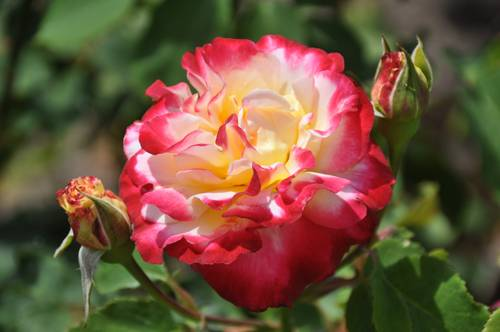 Лучшие способы размножить плетистые розы весной и летом