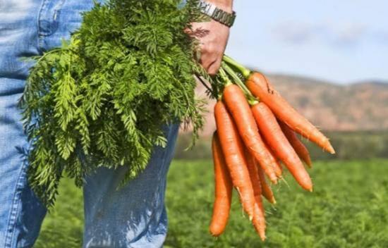 Морковь. польза и вред оранжевого овощефрукта