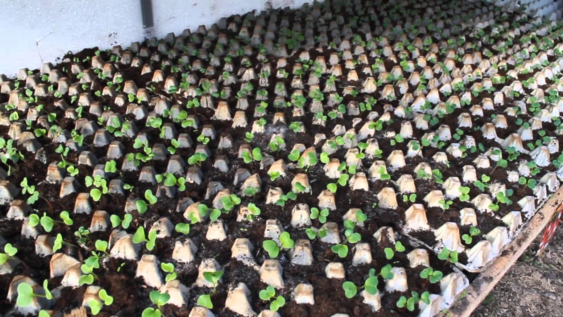 Правильная посадка редиса в ячейки из-под яиц: агротехника выращивания и ухода