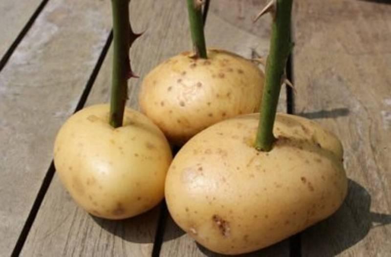 Надежный способ укоренить розу в картофельном клубне